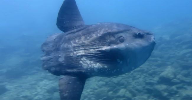 Ay balığı Saros'da!
